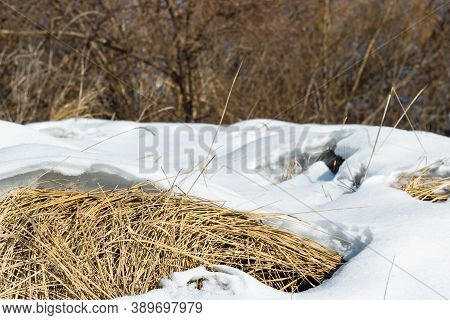 Yellow Dry Meadow Grass Under The White Sparkling Snow Bank By The Dense Shrubland In A Coutryside A