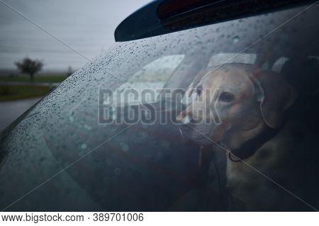 Patience Dog Waiting In Car During Heavy Rain. Sad Labrador Retriever Looking Through Window.
