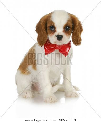 cute puppy - cavalier king charles spaniel wearing red bowtie sitting on white background poster