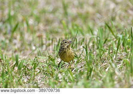 The Yellowhammer Looking With Its Beak Across The Ground Seeds In The Grass
