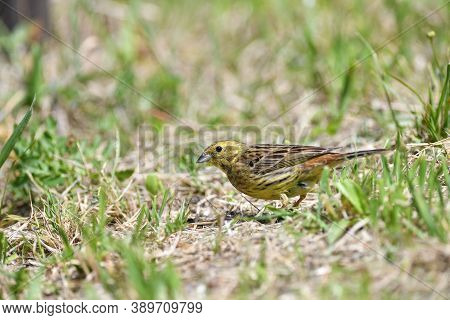The Yellowhammer Walks On The Grass Looking For Seed Food In The Summer