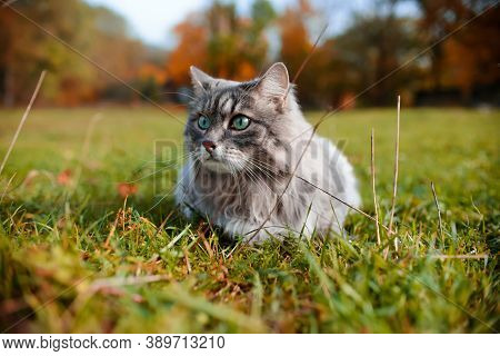 Close-up Portrait Of A Gray Cat Outdoors. A Fluffy Cat With Green Eyes Lies On The Grass. Siberian C