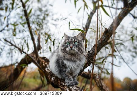 Portrait Of A Gray Cat On A Tree. A Fluffy, Curious Cat With Green Eyes. Siberian Cat