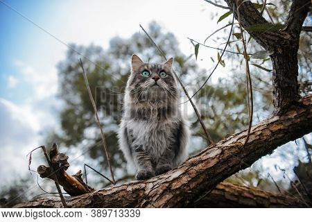 Portrait Of A Gray Cat On A Tree. Fluffy Cat With Big, Green Eyes, Peeking Out. Siberian Cat On The