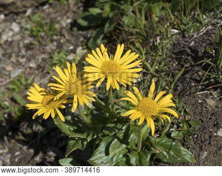 Close Up Yellow Blooming Chamois Ragwort, Senecio Doronicum, Alpine Flower With Green Leaves On Rock