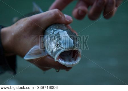 A Small Bull Trout (dolly Varden) Caught On The Squamish River In British-columbia Is Held To Take T