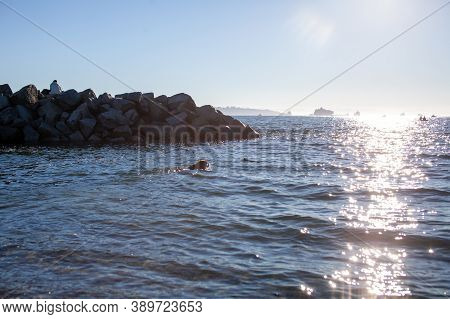A Dog Plays Fetch In The Ocean Off Of Ambleside Dog Beach In West Vancouver, British-columbia, On A