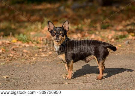 Chihuahua Dog For A Walk. Chihuahua Black, Brown And White. Dog In The Autumn Walks In The Garden Or