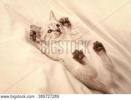Cute White Kitten With Blue Eyes. Adorable Persian Cat. Kitten On A White Background. Small Predator