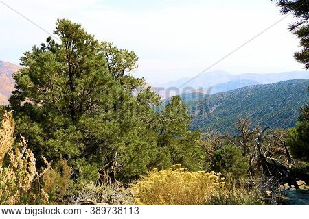 Pinyon And Juniper Pines Besides Sage Plant Flowers On An Alpine Meadow Besides A Temperate Conifero