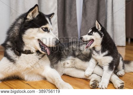 Two Husky Dogs Are Playing Indoor At Home. Mother Dog Playing With Her Little Puppy.