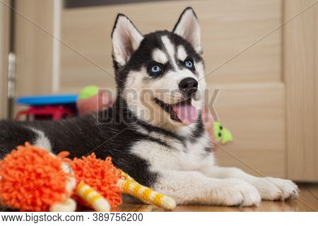 Husky Puppy Playing With Toy. Little Dog At Home In A Room Playing With His Toys.