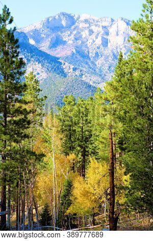 Alpine Coniferous And Deciduous Forest Including Aspen Trees Changing Colors During Autumn With A Mo