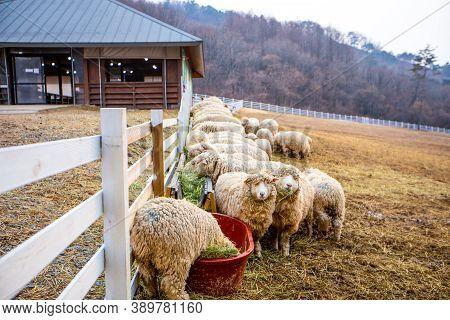 Pyeongchang, South Korea- March 2019: Group Of Sheep Eating Grass At The Farm In Pyeongchang, South