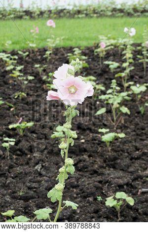 Close Up Pink Hollyhock Flower In Nature Garden