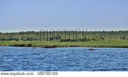Green Grass Grows On The Bank Of The Blue River. The Backs And Heads Of Swimming Hippos Are Visible