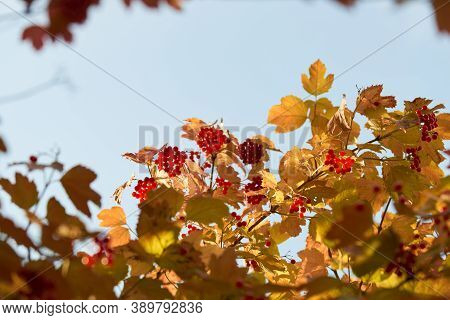Colorful Autumn Leaves And Branches Against The Blue Sky And Sun. Season, Nature, Autumn Card, Thank