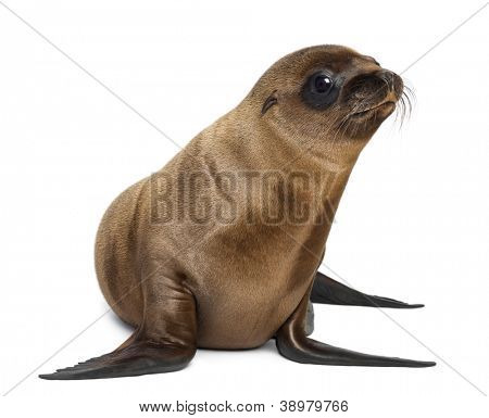 Young California Sea Lion, Zalophus californianus, looking away, 3 months old against white background