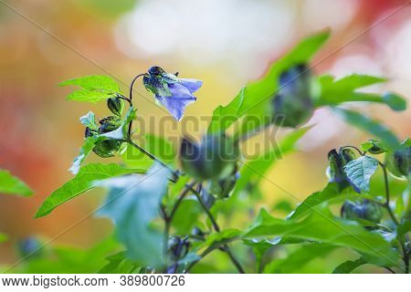 Beautiful Violet Flowers Of A Nightshade. Outside