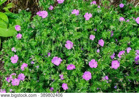 Group Of Vivid Pink Pelargonium Flowers (commonly Known As Geraniums, Pelargoniums Or Storksbills) A