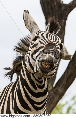 Funny Zebra Head Portrait Close-up Looking Crazy With Mouth Open And Bad Teeth In Kruger National Pa