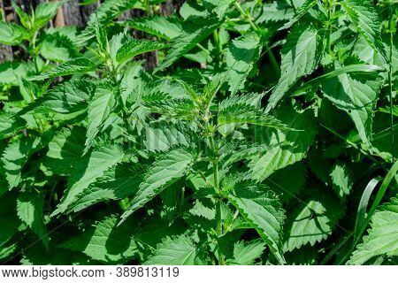 Green Leaves Of Urtica Dioica, Known As Common Nettle, Stinging Nettle Or Nettle Leaf