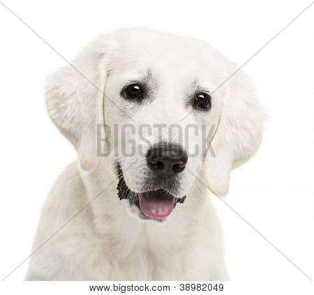 Polish Tatra Sheepdog, (also known as Owczarek Tatrzanski, Owczarek Podhalanski or Polski Owczarek) against white background