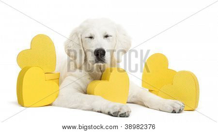 Polish Tatra Sheepdog with eyes closed and lying between yellow hearts, (also known as Owczarek Tatrzanski, Owczarek Podhalanski or Polski Owczarek) gift, present against white background