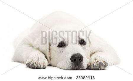 Polish Tatra Sheepdog, (also known as Owczarek Tatrzanski, Owczarek Podhalanski or Polski Owczarek) resting against white background