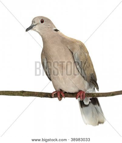 Eurasian Collared Dove perched on branch, Streptopelia decaocto, most often simply called the Collared Dove against white background