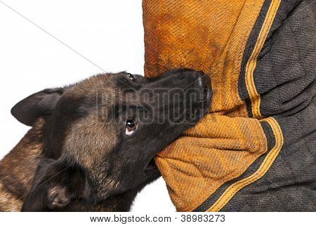 Belgian Shepherd biting a body bite suit against white background