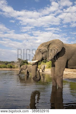 Vertical Portrait Of A Large Elephant Standing At The Edge Of Chobe River Drinking Water With Blue S