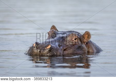 Close Up On Hippo's Head Sticking Out Of Water In Chobe River In Botswana
