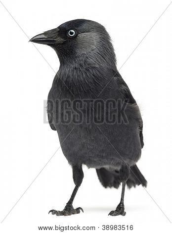 Western Jackdaw Corvus monedula, (or Eurasian Jackdaw, or European Jackdaw or simply Jackdaw) against white background