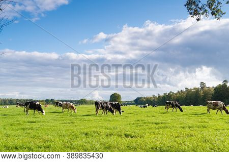 Red And Black Frisian Cows In A Dutch Meadow
