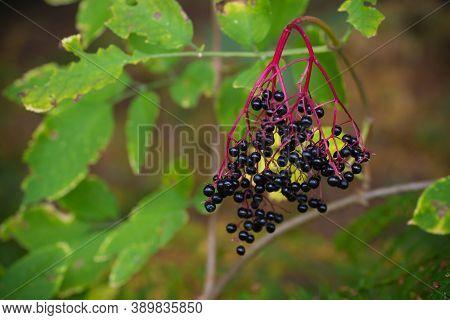 Ripe Berries Of Black Elderberry (sambucus) In Late Summer. Black Elder Is One Of The Most Abundant