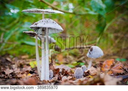 Pleated Inkcap (parasola Plicatilis) Sometimes Known As The Little Japanese Umbrella, Growing In A F
