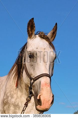 A Portrait Of A White Horse In A Headrest Looks Full-face Close-up Against A Background Of Blue Sky.