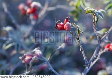 Rosehip Leaves And Berries With Hoarfrost. A Wild Rose Shrub With Frost On Dark Background. First Fr