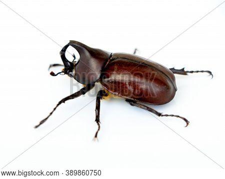 Asiatic Rhinoceros Beetle Or Coconut Rhinoceros Beetle Belonging To Rhinoceros Beetle Family, Agains