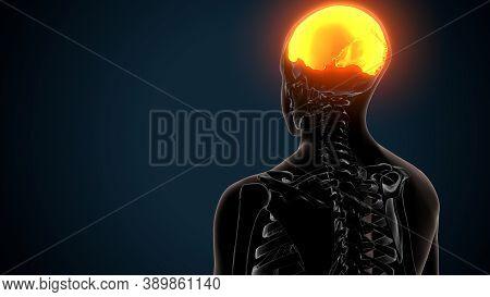 3d Illustration Of Human Skeleton Skull Parietal Bone Anatomy