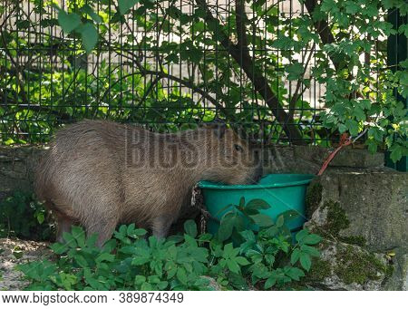 Capybara Is A Giant Cavy Rodent Native To South America. It Is The Largest Living Rodent In The Worl