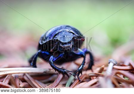 Close Up Of A Wood Dung Beetle (anoplotrupes Stercorosus) On The Forest Floor.
