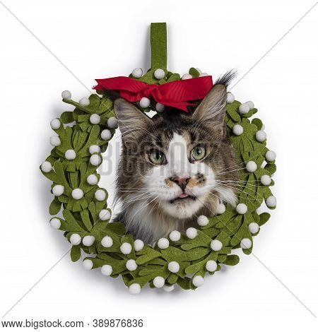 Cute Maine Coon Cat Looking Through Christmans Wrath. Isolated On White Background. Sticking Out Ton