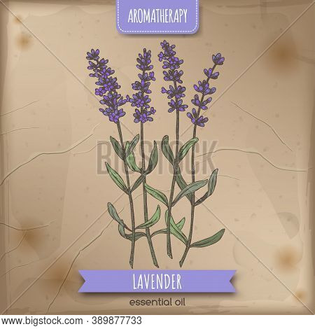 Lavender Aka Lavandula Angustifolia Color Sketch On Vintage Background.
