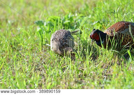 Pheasant Male And Female Together Eat Seeds From The Grass