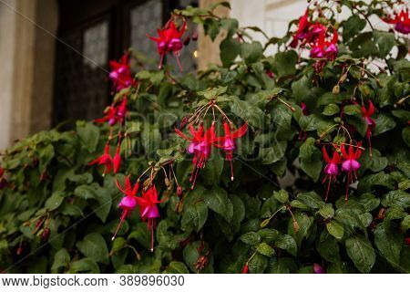 Selective Focus Of Beautiful Pink And Purple Fuchsia Flowers In Full Bloom. Upright Fuchsia. Plant I