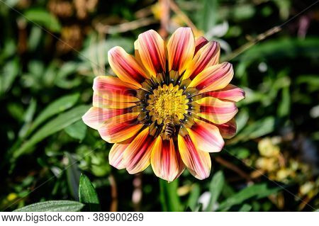 Top View Of One Vivid Yellow And Red Gazania Flower And Blurred Green Leaves In Soft Focus, In A Gar