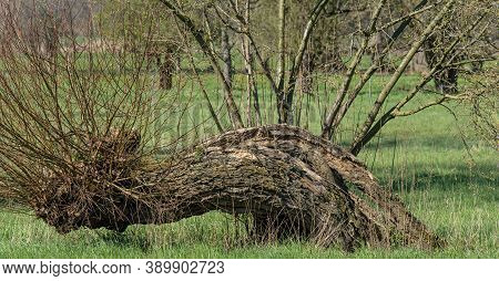 Common Osier (salix Viminalis) Tree In Rhineland,germany