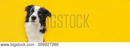 Funny Studio Portrait Of Cute Smiling Puppy Dog Border Collie Isolated On Yellow Background. New Lov